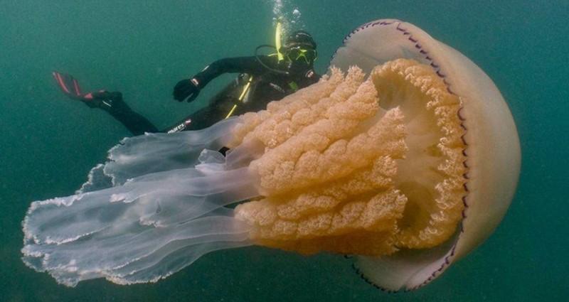 Denizanası