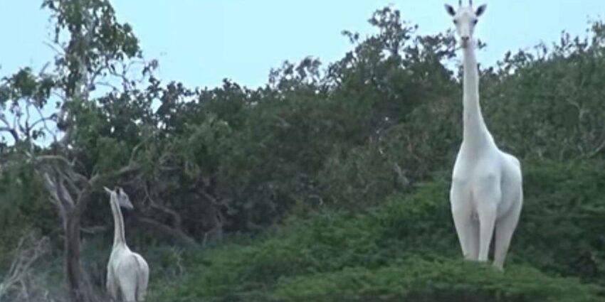 Son Dişi Beyaz Zürafa