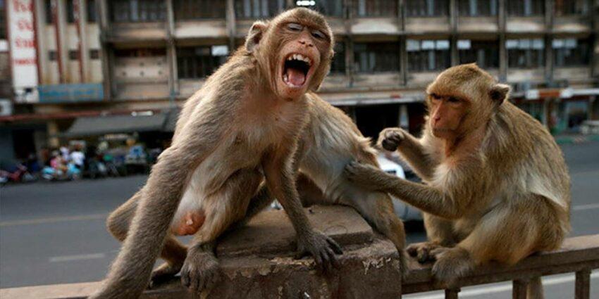 Covid-19 Hindistan Maymun Çetesi