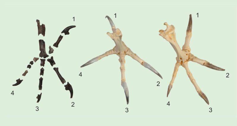 Baykuş Evrimi Primoptynx poliotauros