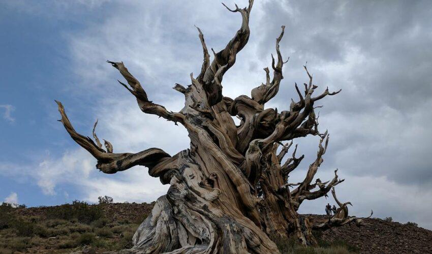 Ağaçlar Ölümsüz mü?