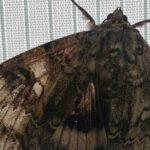 Çernobil kelebek Catocala fraxini