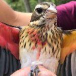 Yarı Erkek, Yarı Dişi Kuş