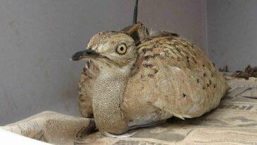 Yakalı Toy Kuşu