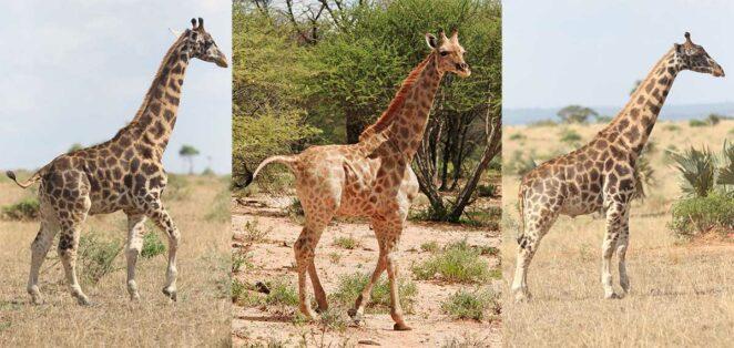 Cüce Zürafalar
