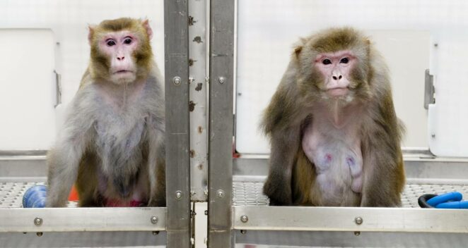 elon musk neuralink maymun deney çip