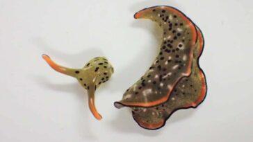 Kendi Kafasını Kopartıp Yaşamını Sürdüren Deniz Sümüklü Böceği