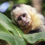 İnsan ve Maymun Melez Embriyo Üretimi