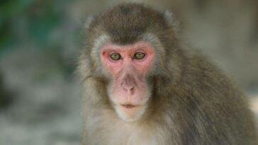 dişi maymun alfa japonya