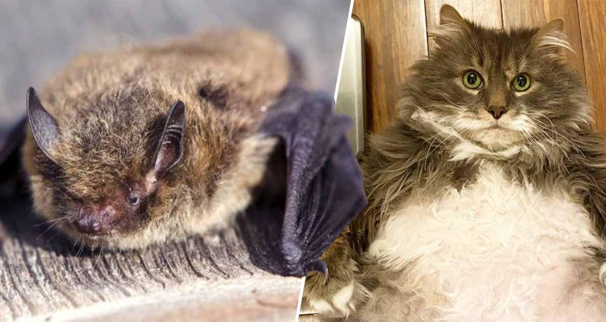 yarasa tarihin en uzun ucuşu kedi saldırısı