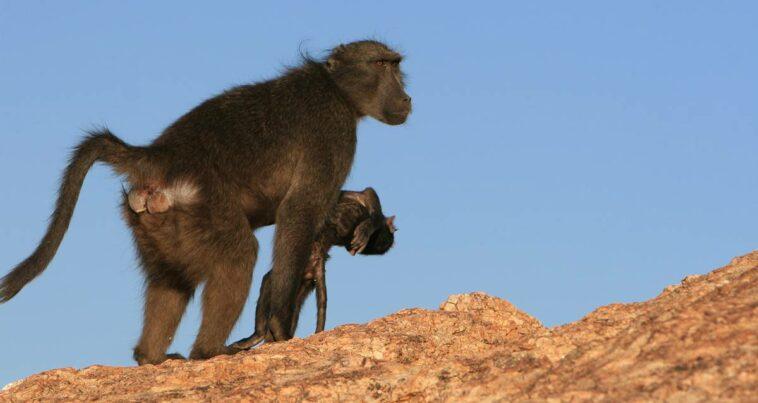 anne goril yas alışkanlıkları ölü