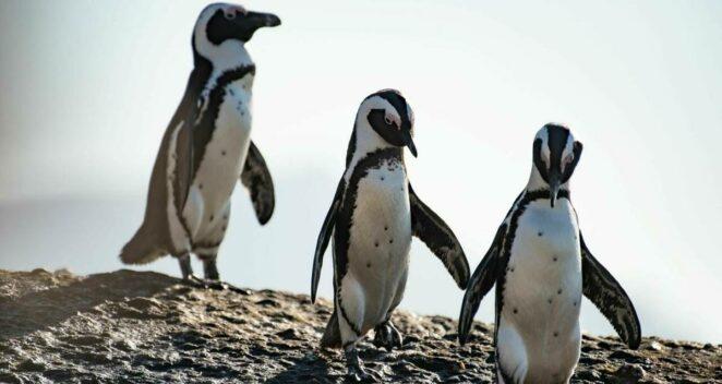 güney afrika penguenleri arılar